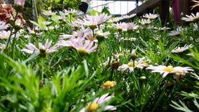 五颜六色的桃红色雏菊花在庭院温室里 免版税库存图片