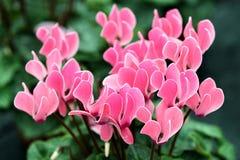 五颜六色的桃红色仙客来花 免版税图库摄影