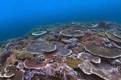 五颜六色的桌珊瑚居住于的珊瑚礁, 免版税库存照片