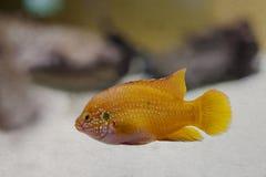 五颜六色的桔子,黄色热带鱼 年龄 免版税库存照片