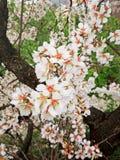 五颜六色的梨开花在公园 库存照片
