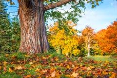 五颜六色的槭树叶子在树下 免版税图库摄影