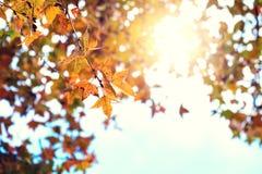五颜六色的槭树叶子树在秋天公园 库存照片