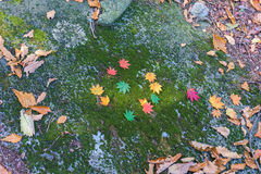 五颜六色的槭树在秋天在韩国 库存照片