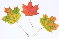 五颜六色的槭树 库存图片