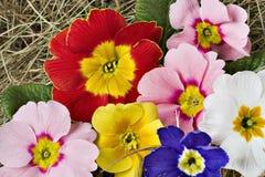 五颜六色的樱草属 库存照片