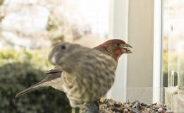 五颜六色的橙色公室内燕雀被栖息在鸟饲养者 库存照片