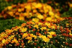 五颜六色的橙色和黄色秋天菊花 库存图片