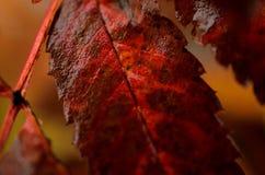 五颜六色的欧洲花楸叶子湿从新的雪宏指令 免版税图库摄影