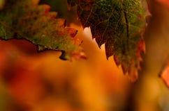 五颜六色的欧洲花楸叶子湿从新的雪 免版税库存图片