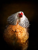 五颜六色的母鸡画象  免版税库存图片