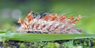 五颜六色的毛虫在自然生态环境 库存照片