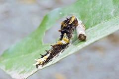 五颜六色的毛虫在自然生态环境 免版税图库摄影