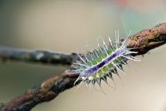 五颜六色的毛虫在自然生态环境 免版税库存照片