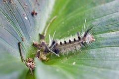 五颜六色的毛虫在自然生态环境 库存图片