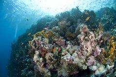 五颜六色的水下的热带珊瑚礁场面。 库存照片