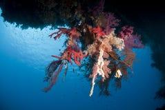 五颜六色的水下的热带珊瑚礁场面。 图库摄影