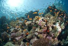 五颜六色的水下的热带珊瑚礁场面。 免版税库存照片