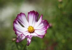 五颜六色的波斯菊紫红色白色 库存照片