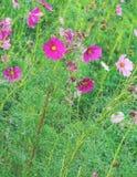 五颜六色的波斯菊花 图库摄影