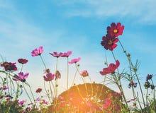 五颜六色的波斯菊花 免版税图库摄影