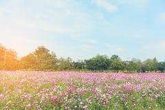 五颜六色的波斯菊花 库存图片
