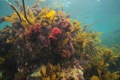 五颜六色的海杂草 免版税库存照片