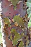 五颜六色的澳大利亚产树胶之树吠声 库存图片