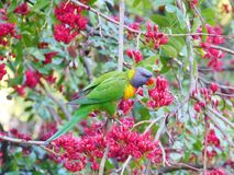五颜六色的澳大利亚鸟 免版税库存图片