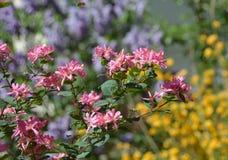五颜六色的灌木花在庭院里 库存图片