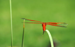 五颜六色的火焰漏杓蜻蜓准备好起飞 免版税库存照片