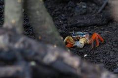 五颜六色的热带螃蟹 库存图片