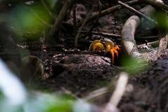 五颜六色的热带螃蟹 免版税库存图片
