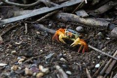 五颜六色的热带螃蟹 库存照片