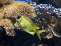 五颜六色的热带鱼特写镜头与斑点的 免版税库存照片