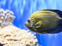 五颜六色的热带鱼特写镜头  免版税库存照片