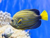 五颜六色的热带鱼特写镜头  库存照片