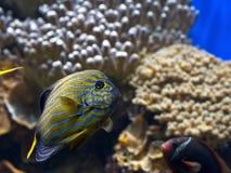 五颜六色的热带鱼特写镜头  库存图片