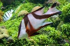五颜六色的热带鱼 免版税库存图片