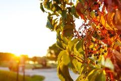 五颜六色的爬行物藤在黄昏阳光下 库存图片