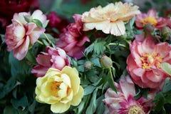 五颜六色的牡丹开花与叶子的束 图库摄影