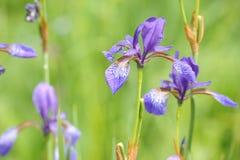 五颜六色的狂放的虹膜在一个绿色草甸开花在初夏在斯洛伐克 免版税图库摄影