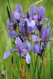 五颜六色的狂放的虹膜在一个绿色草甸开花在初夏在斯洛伐克 库存照片