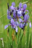 五颜六色的狂放的虹膜在一个绿色草甸开花在初夏在斯洛伐克 免版税库存图片