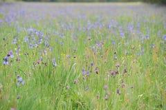 五颜六色的狂放的虹膜在一个绿色草甸开花在初夏在斯洛伐克 免版税库存照片