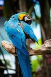 五颜六色的猩红色金刚鹦鹉鹦鹉画象反对密林背景的 免版税库存照片