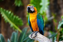 五颜六色的猩红色金刚鹦鹉鹦鹉画象反对密林背景的 免版税库存图片