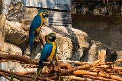 五颜六色的猩红色金刚鹦鹉鹦鹉画象反对密林背景的 库存照片