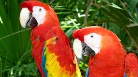 五颜六色的猩红色金刚鹦鹉 免版税库存图片