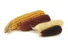 五颜六色的玉米棒子不同的品种  库存照片